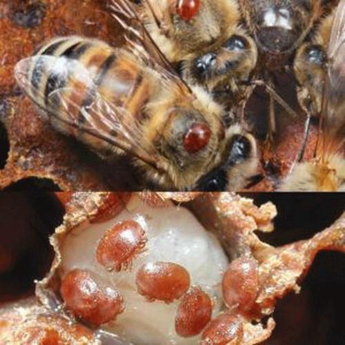 کنه واروآ مهمترین آفت زنبور عسل