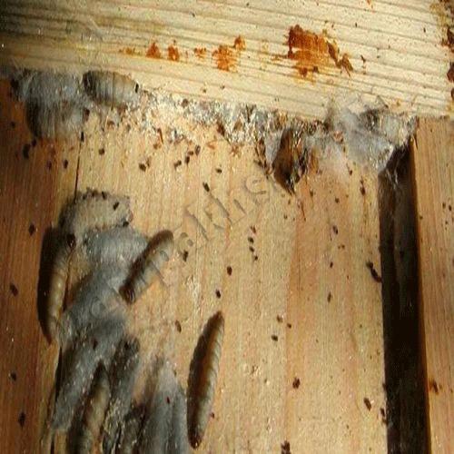 آفت لارو موم خوار در کندوی دارای زنبور