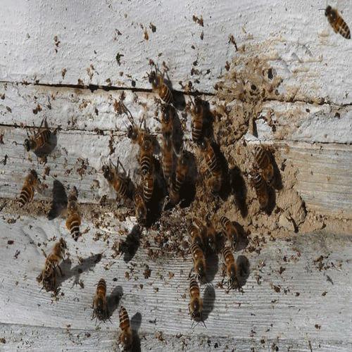 بررسی و کنترل بیماری نوزما در زنبور عسل